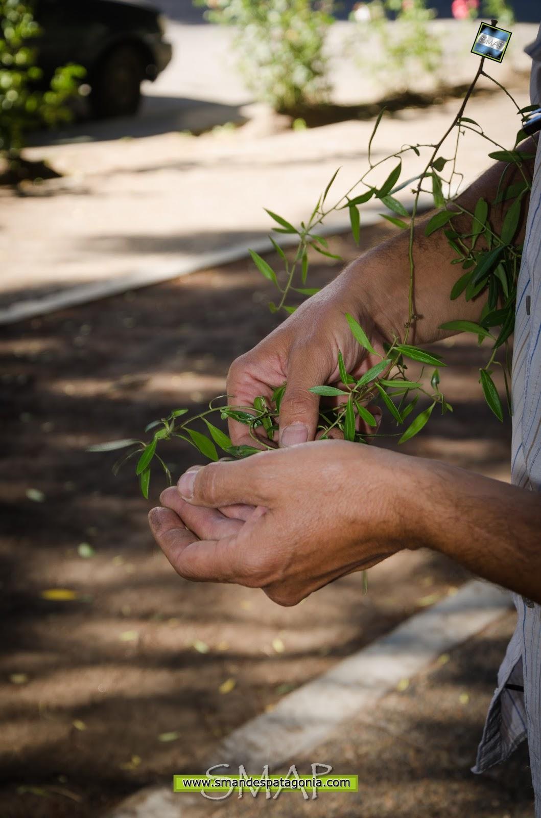 Sobre las plantas: El Maitén